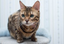 attractive bengal cat