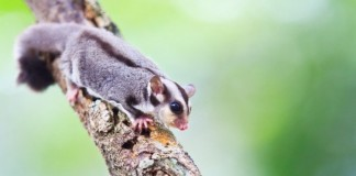 cute sugar glider on tree
