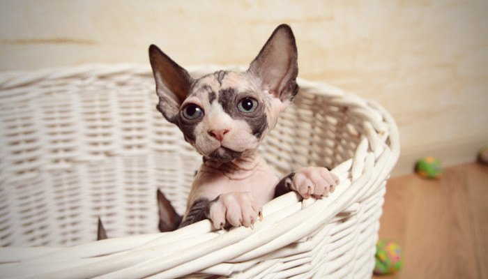 little sphynx cat