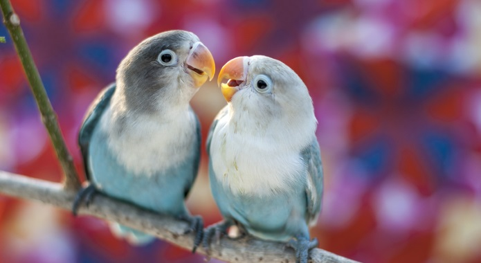 cute birds in love desktop