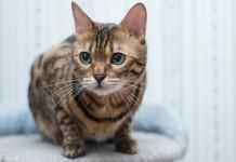 attractive bengal cat