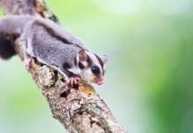 cute sugar glider on tree