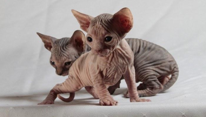 cool reasons for having sphynx cat
