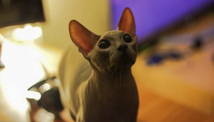 cute dark sphynx cat