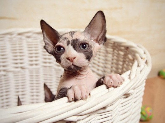 little sphynx cat